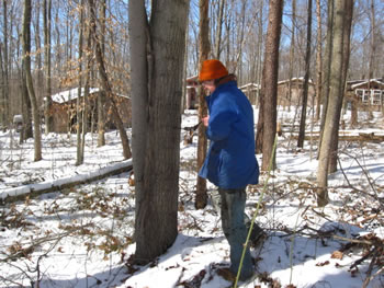 Drilling for a maple sugar tap.